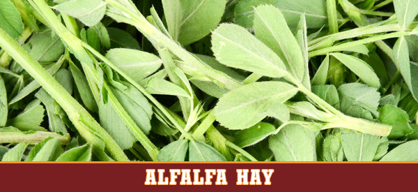 alfalfa legume